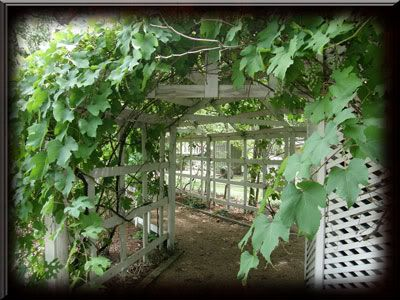Grape Vine 1 at Ft. Bend County, Texas Museum