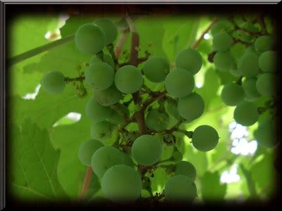 Grape Vine 5 at Ft. Bend County, Texas Museum